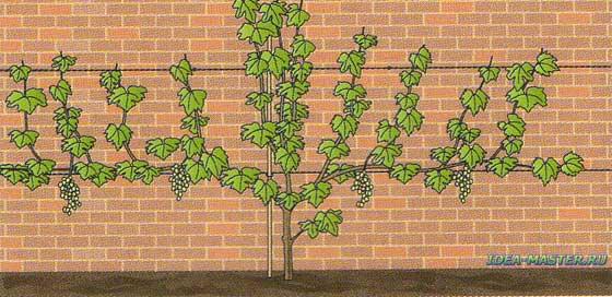 Выращивание винограда 1 год 2