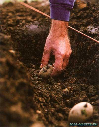На какую глубину сажать картошку на песчаной почве 22